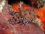 Monkey Shrimp, Common Marble Shrimp  Photo