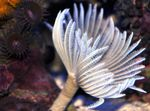 fan worms Hawaiian Feather Duster  Photo