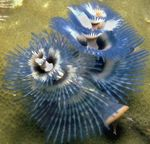 Christmas Tree Worm Photo and care