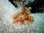 fan worms Split-Crown Feather Duster  Photo
