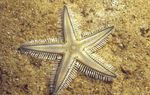 Sand Sifting Sea Star Photo and care