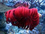 Crinoid, Feather Star Photo and care