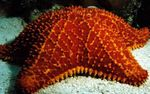 Reticulate Sea Star, Caribbean Cushion Star Photo and care