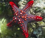 Red Knob Sea Star (Red Spine Star, Crimson Knob Star Fish) Photo and care
