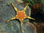 Double Sea Star, Platted Starfish Photo and care
