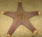 Choc Chip (Knob) Sea Star Photo and care