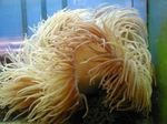 Beaded Sea Anemone (Ordinari Anemone)