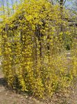 Photo Forsythia characteristics