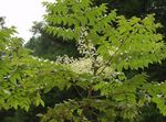Photo Garden Flowers Japanese angelica tree (Aralia), white