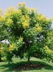 Photo Golden Rain Tree, Panicled Goldenraintree characteristics