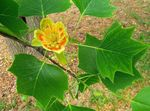 Photo Tulip tree, Yellow Poplar, Tulip Magnolia, Whitewood characteristics