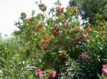 Photo Bottlebrush characteristics