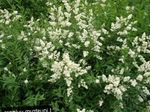 Photo Garden Flowers Privet (Ligustrum-vulgare), white