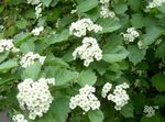 Photo Garden Flowers Midland hawthorn (Crataegus), white