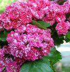 Photo Garden Flowers Midland hawthorn (Crataegus), pink