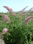 Photo Garden Flowers Butterfly Bush, Summer Lilac (Buddleia), pink