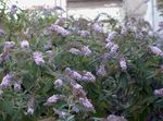Photo Garden Flowers Butterfly Bush, Summer Lilac (Buddleia), lilac