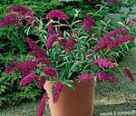 Photo Garden Flowers Butterfly Bush, Summer Lilac (Buddleia), burgundy