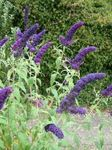 Photo Garden Flowers Butterfly Bush, Summer Lilac (Buddleia), dark blue