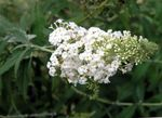 Photo Garden Flowers Butterfly Bush, Summer Lilac (Buddleia), white