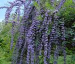 Photo Garden Flowers Butterfly Bush, Summer Lilac (Buddleia), light blue