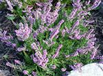 Photo Garden Flowers Heather (Calluna), lilac