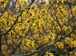 Photo Witchhazel characteristics