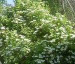 Photo European Cranberry Viburnum, European Snowball Bush, Guelder Rose characteristics