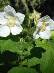 Photo Purple-flowering raspberry, Thimbleberry characteristics