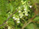 Photo Indian Plum, Oso Berry, Bird Cherry characteristics
