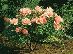 Photo Garden Flowers Tree peony (Paeonia-suffruticosa), orange