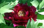 Photo Garden Flowers Tree peony (Paeonia-suffruticosa), burgundy