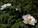 Photo Garden Flowers Tree peony (Paeonia-suffruticosa), white