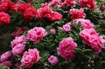 Photo Garden Flowers Tree peony (Paeonia-suffruticosa), pink