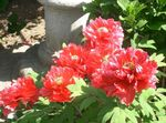 Photo Garden Flowers Tree peony (Paeonia-suffruticosa), red