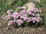 Photo Garden Flowers Bog Rosemary, Common Bog Rosemary, Marsh Andromeda , pink