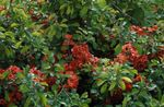 Photo Garden Flowers Quince (Chaenomeles-japonica), red