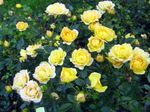 Photo Garden Flowers Polyantha rose (Rosa polyantha), yellow