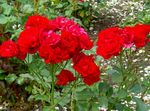 Photo Polyantha rose characteristics