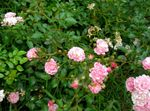 Photo Garden Flowers Polyantha rose (Rosa polyantha), pink
