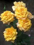 Photo Grandiflora rose characteristics
