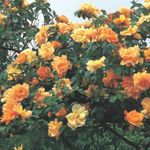 Photo Rose Rambler, Climbing Rose characteristics