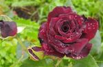 Photo Garden Flowers Hybrid Tea Rose (Rosa), burgundy