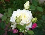 Photo Garden Flowers Hybrid Tea Rose (Rosa), white