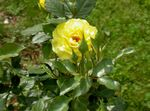 Photo Garden Flowers Hybrid Tea Rose (Rosa), yellow