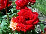 Photo Garden Flowers Hybrid Tea Rose (Rosa), red