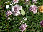Photo Garden Flowers Hybrid Tea Rose (Rosa), lilac