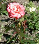 Photo Garden Flowers Hybrid Tea Rose (Rosa), orange