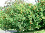 Rowan, Mountain ash
