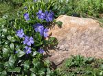 Photo Common Periwinkle, Creeping Myrtle, Flower-of-Death (Vinca minor), light blue